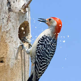 Pecking Wood by Wil Domke - Animals Birds ( bird, florida, wildlife, everglades, woodpecker, red-bellied woodpecker )
