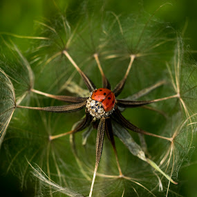 bulls eye by Marianna Armata - Nature Up Close Other plants ( plant, macro, red, dandelion, goats beard, bright, weed, marianna armata, lady bug, insect, beetle )