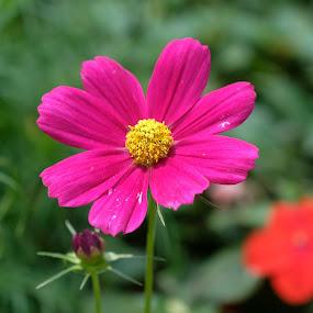 Pink & Yellow by Beh Heng Long - Flowers Single Flower ( flower,  )