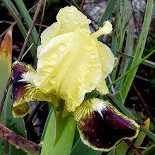 Photo: Iris tuberosa (Bellavedova o giaggiolo tuberoso)