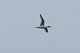 Photo: Red-billed Tropicbird