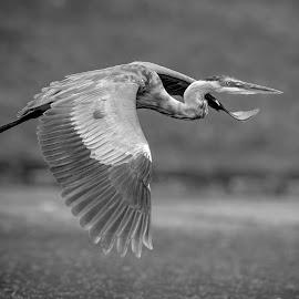 Great Blue Heron by Debbie Quick - Black & White Animals ( great blue heron, flight, debbie quick, nature, debs creative images, new york, waterfowl, outdoors, animal, heron, wild, hudson valley, poughkeepsie, wildlife )
