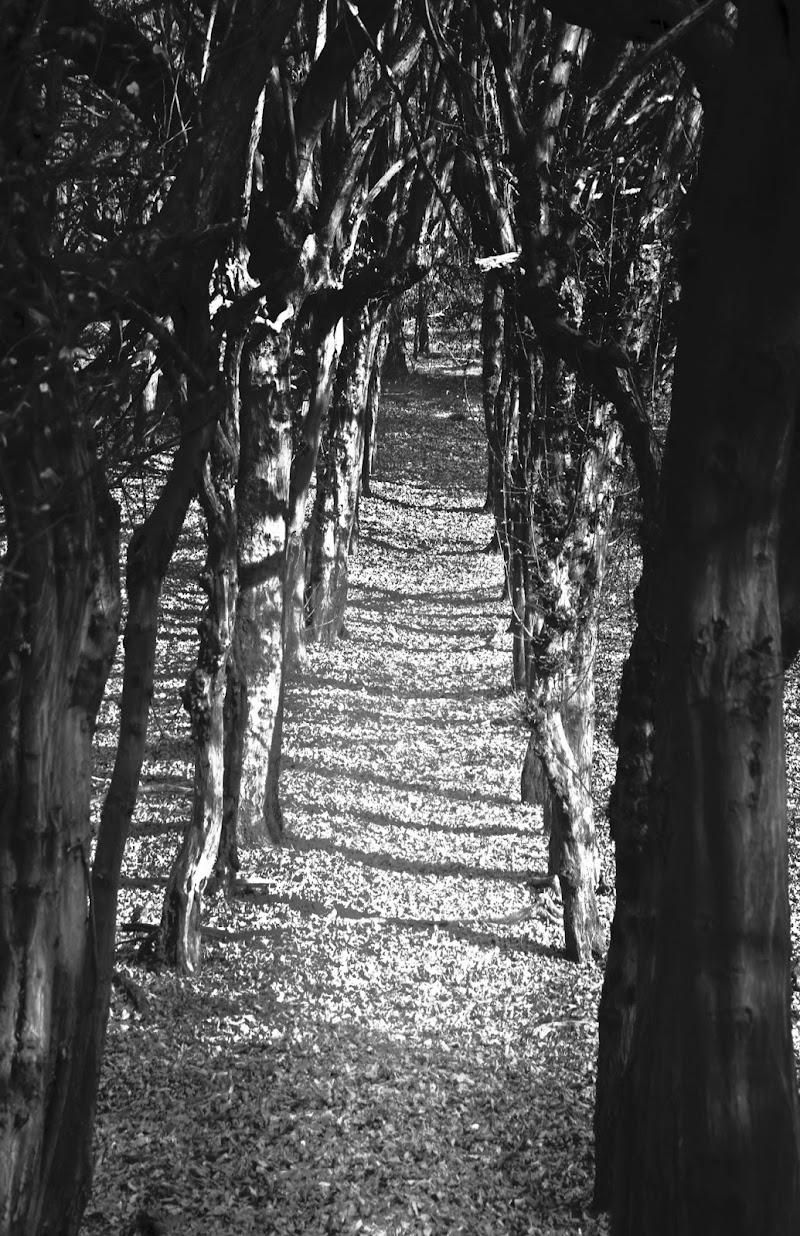 ombre d'alberi di arturoaiello