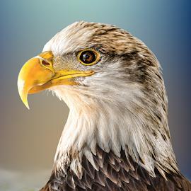 Juvenile Bald Eagle by Judy Rosanno - Animals Birds (  )