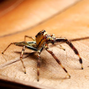 Jumper Spider by Azira Ahmad - Animals Insects & Spiders ( olympus close up bug advertisement female spider )