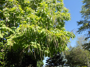 """Photo: another view of the """"green bean"""" tree."""