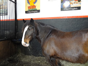 Photo: Shire horse the National Brewery Centre in Burton-Upon-Trent.