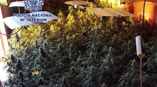 Plantación hallada en Los Almendros.