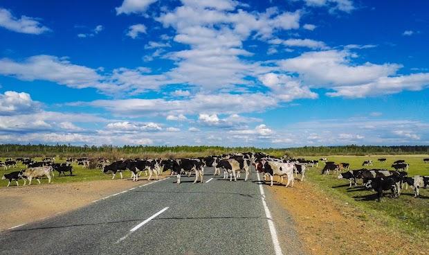 Стадо коров переходит дорогу на участке Беклемишево-Преображенка