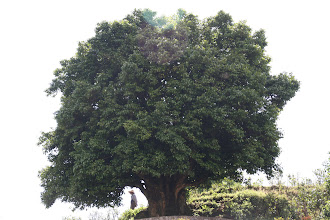 Photo: This puer tea tree is reported to be the oldest tea tree in the world, at about 3750 years old.