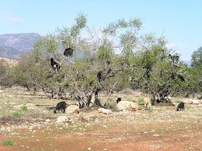 Photo: Maroko- kozy pasące się na drzewie