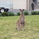 Eastern Grey Kangaroo