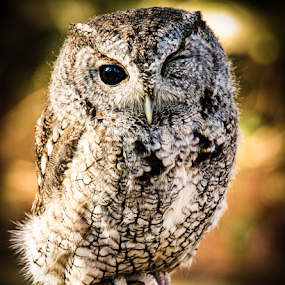 Owl by Myra Brizendine Wilson - Animals Birds ( bird, birds of prey, nature, nc, charlotte raptor center, owl, wildlife, charlotte, birds, owls,  )