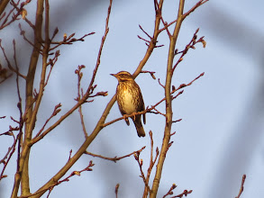 Photo: Priorslee Lake Here is a fine Redwing basking in the early sun. (Ed Wilson)