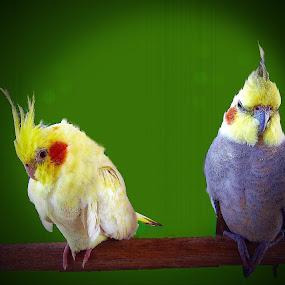 by Fereshteh Molavi - Animals Birds ( red, blue, green, yelloe, birds )