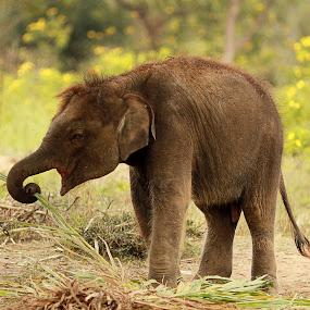 His First Lesson! by Balaji Mohanam - Animals Other Mammals ( eating lessons, trunk, elephant, calf, baby animals )