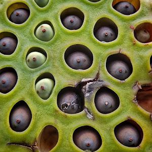 makro sjemena lotosa.jpg