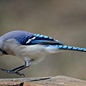 Blue Jay 044.JPG