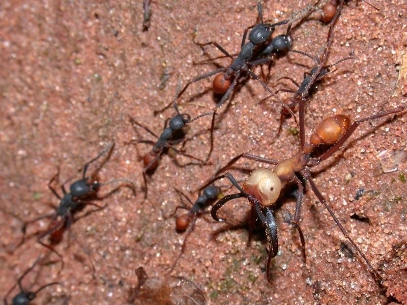 File:Eciton burchellii army ants.jpg