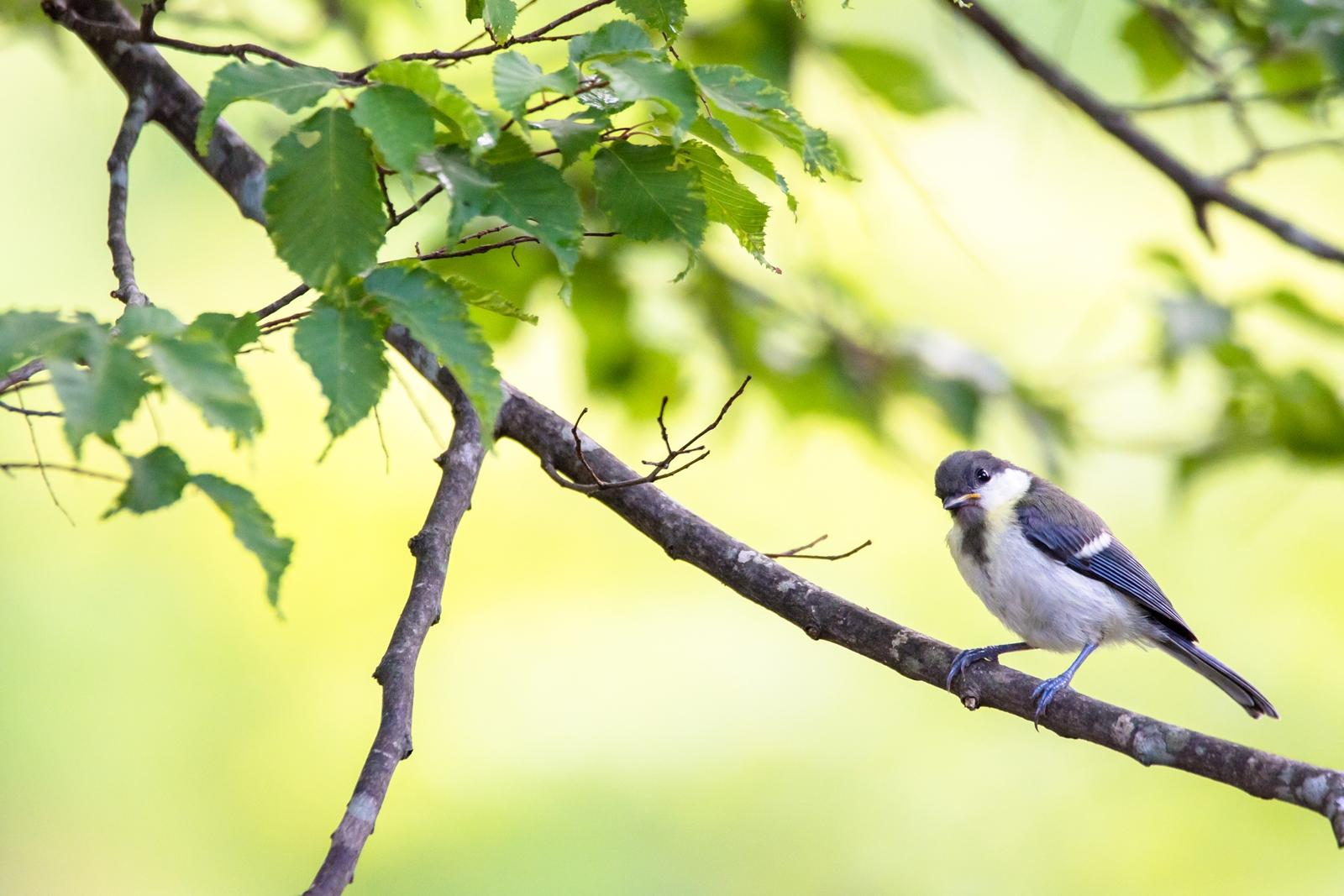 Photo: 初めまして? who are you?  賑やかな朝の始まり 住人達が活動を始める あれ? 見慣れないいきもの 初めましてかな?  Japanese Tit. (シジュウカラ)  #birdphotography #birds #cooljapan #kawaii #nikon #sigma  Nikon D7200 SIGMA 150-600mm F5-6.3 DG OS HSM Contemporary