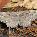 Barberry geometer moth