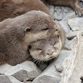 Otterly cutesome snuggles by Fiona Etkin - Animals Other Mammals ( mammals, otters, mustelids, nature, snuggling, animals, sleepy, cute )