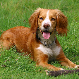 Woody by Chrissie Barrow - Animals - Dogs Portraits ( stick, tongue, grass, cocker spaniel, pet, white, fur, ears, legs, dog, nose, tan, portrait,  )