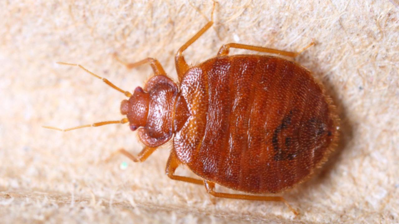 How Do I Know If I Have Bed Bugs?   Griffin Pest Solutions