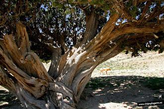 Photo: 9: El tronco normalmente es retorcido y son árboles muy resistentes a las condiciones climáticas extremas y a los suelos pobres.