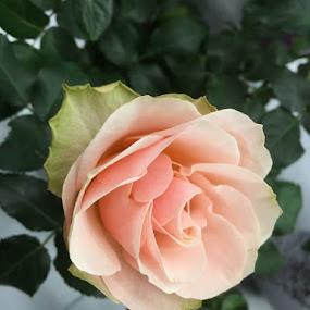 by Tiffany Wu - Flowers Single Flower