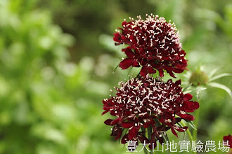Photo: 拍攝地點: 梅峰-溫帶花卉區 拍攝植物: 松蟲草 拍攝日期:2012_05_26_FY