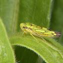 Cigarrinha (Leaf hopper)