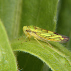 Cigarrinha (Leaf hopper)