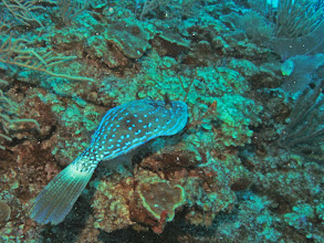Photo: Scrawled_Filefish
