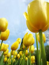 Photo: Bright, sunny tulips under a bright, sunny sky at Wegerzyn Gardens in Dayton, Ohio.