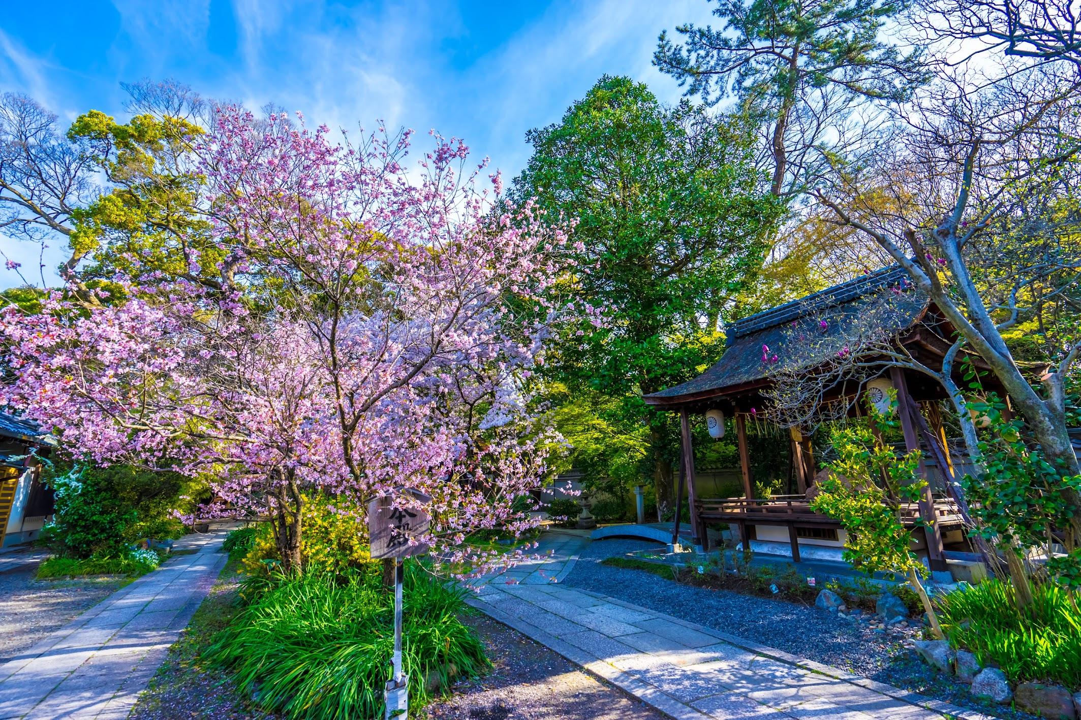 Kyoto Gyoen Munakata Shrine cherry blossoms1