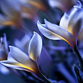 In Blue by Purnawan  Hadi - Nature Up Close Flowers - 2011-2013 ( bali, balinese, indonesia, asia, hadi, purnawan, flower )