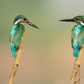 double trouble by Amol Patil - Animals Birds