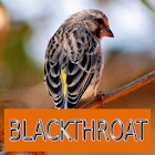 Master Kicau Blackthroat icon