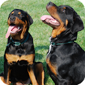 Rottweiler Pack 2 HD Wallpaper icon