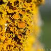 Shore lichen