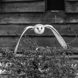 Barn Owl by Garry Chisholm - Black & White Animals ( raptor, bird of prey, nature, flying, barn owl, garry chisholm )
