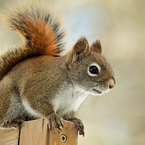 Hello There by Jeff Galbraith - Animals Other Mammals ( red, furry, cute, rodent, close-up, squirrel )
