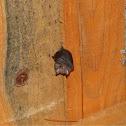 Lesser horseshoe bat  (μικρός Ρινόλοφος)