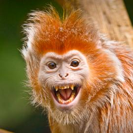 EBONY LANGUR PORTRAIT by Soumya Ranjan Kar - Animals Other Mammals ( ebony langur, monkey, orange monkey, langur )