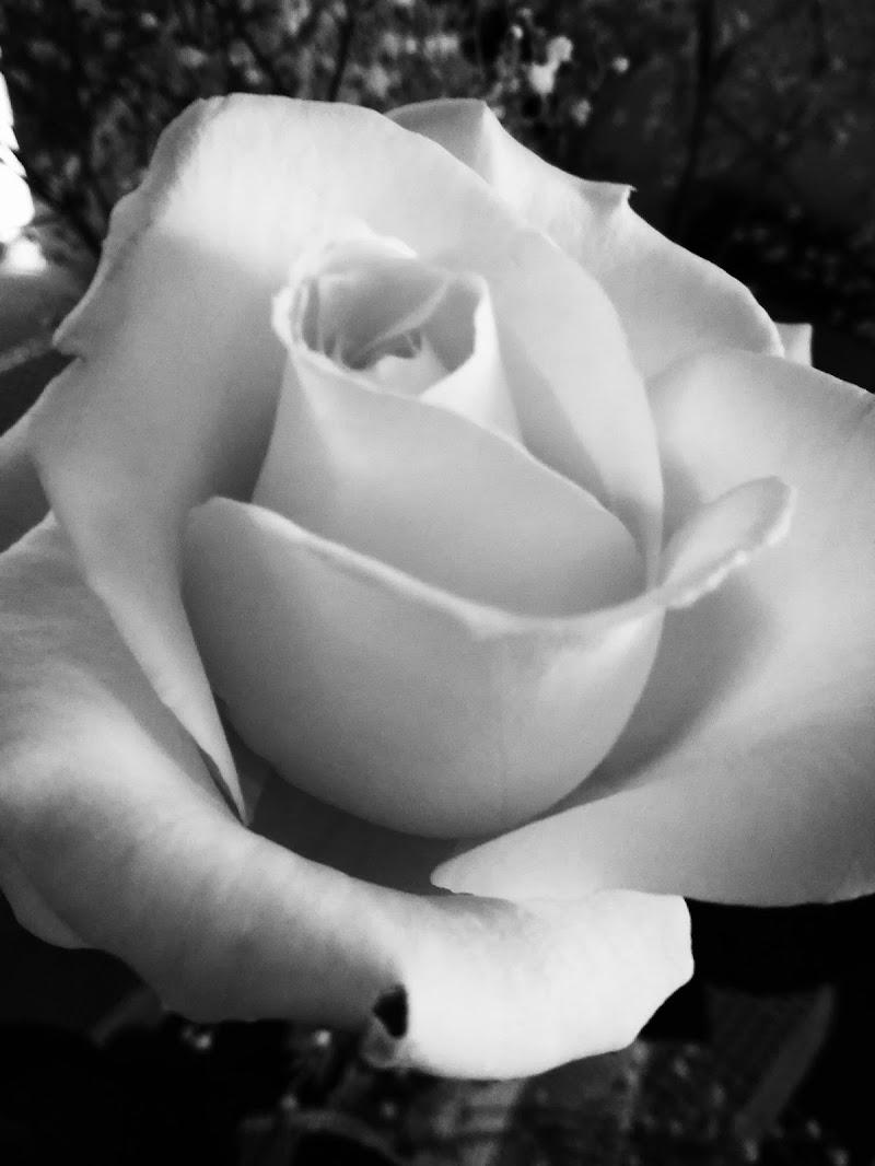 White rose di debho_jo
