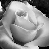 White rose di