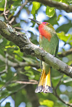 Photo: Red-bearded Bee-eater