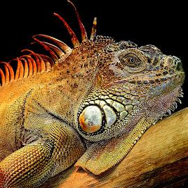 Le repos du guerrier by Gérard CHATENET - Animals Reptiles