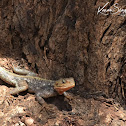 Agama(Lizard) - East African Rainbow Lizard
